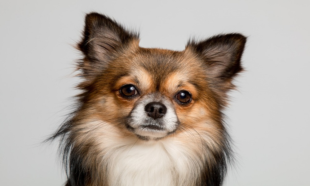 1500 Chihuahua Names To Consider For