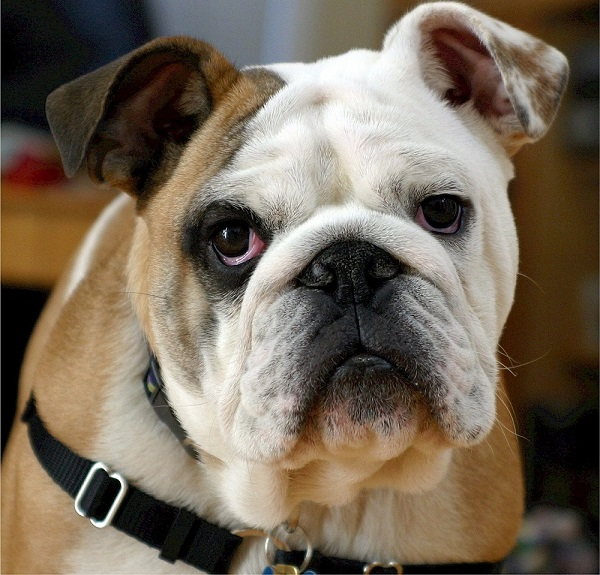 Classic English Bulldog Names