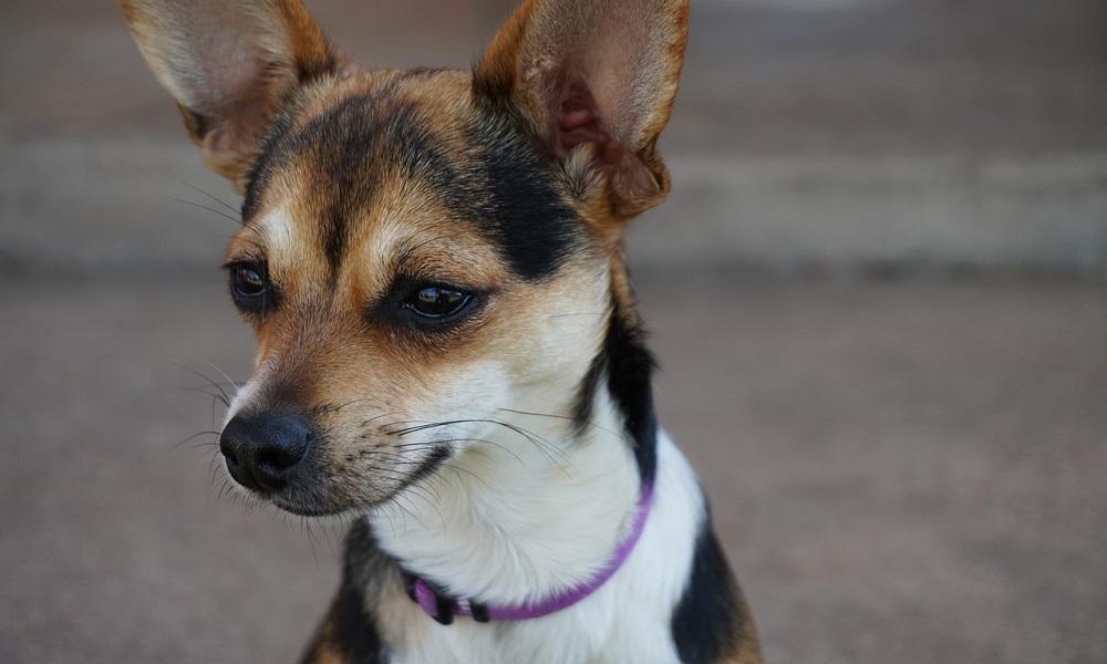 Cute Chihuahua Names Female
