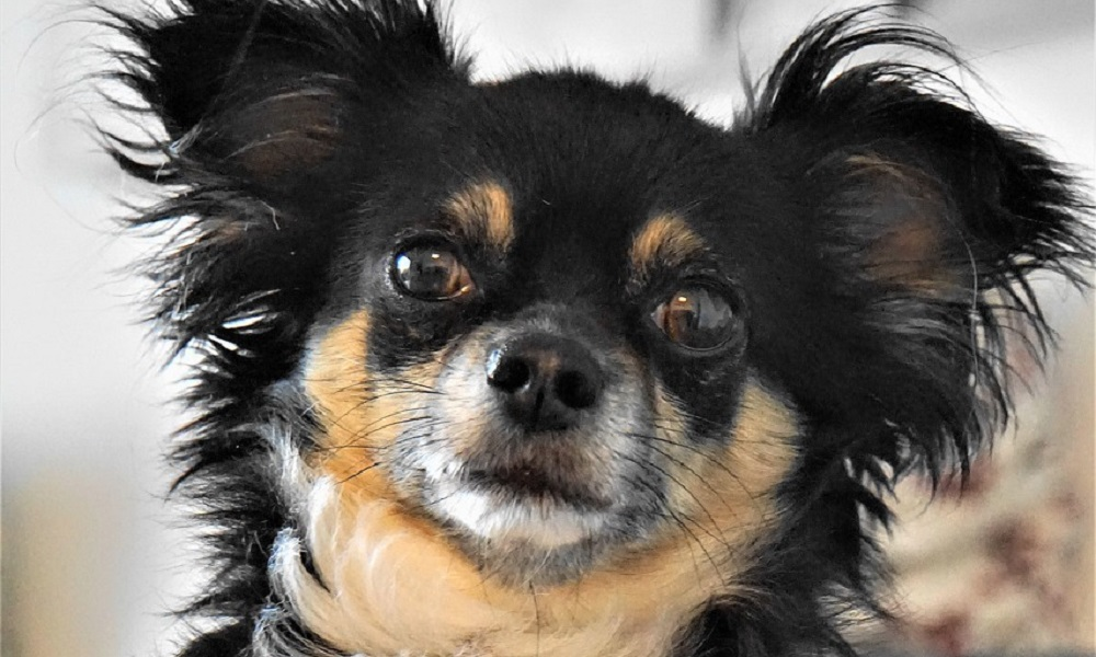Cute Chihuahua Names Male