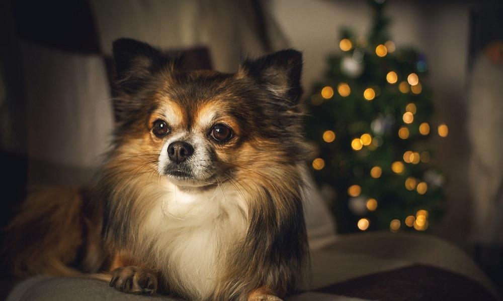 Famous Chihuahua Names