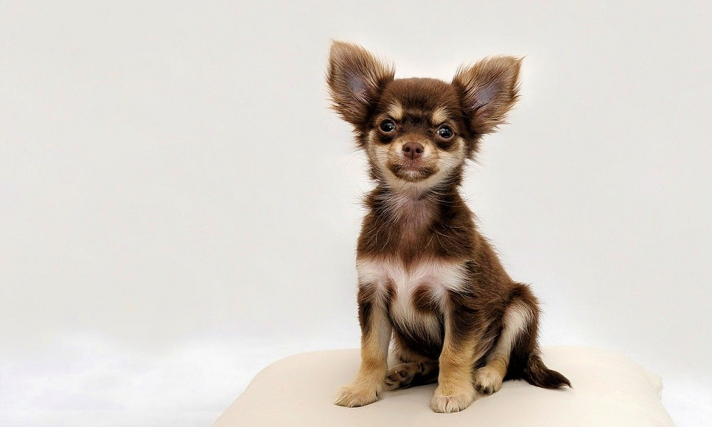 Popular Female Chihuahua Names