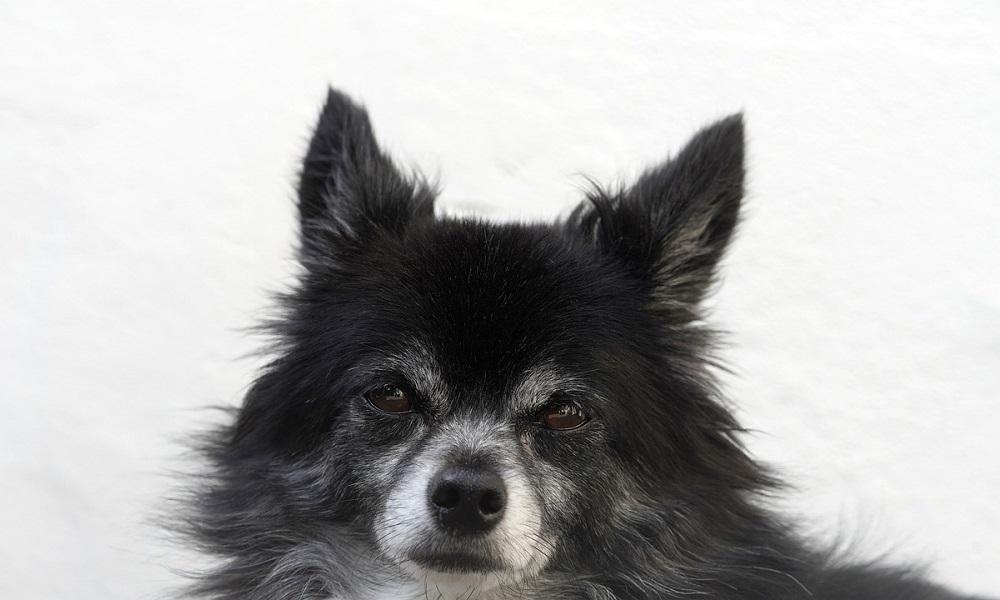 Popular Male Chihuahua Names