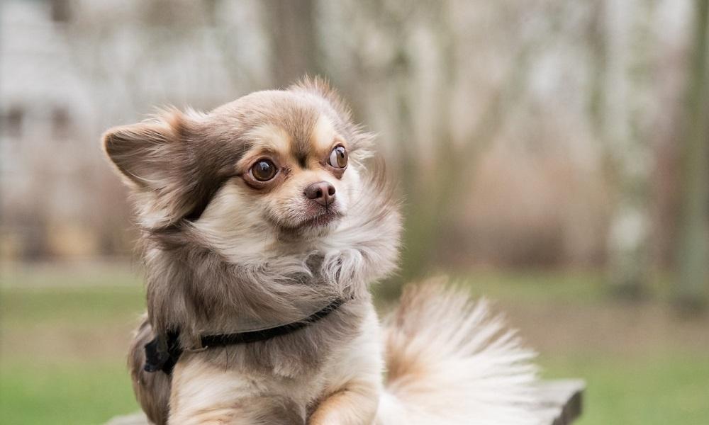 Unique Chihuahua Names Male