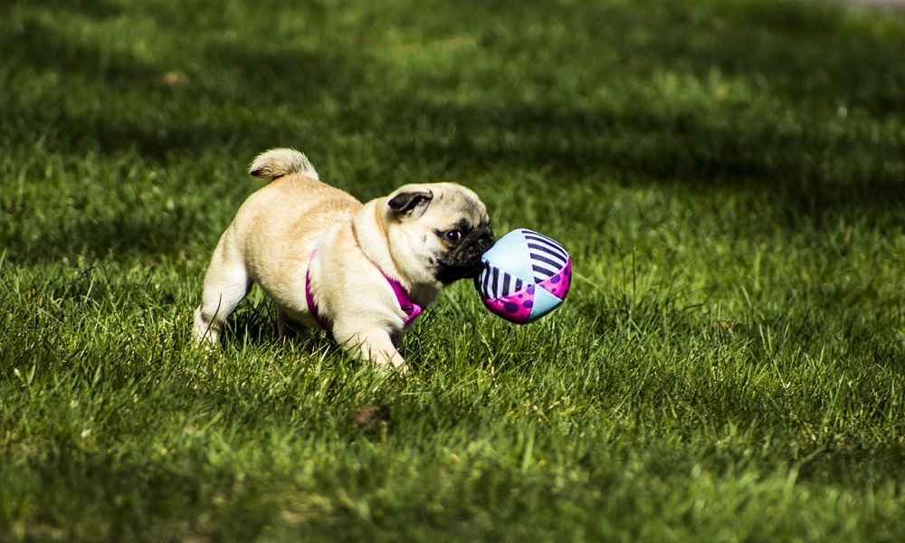 Cute Dog Names for Pugs