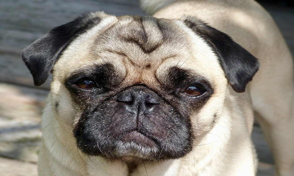 Pug Names for Male