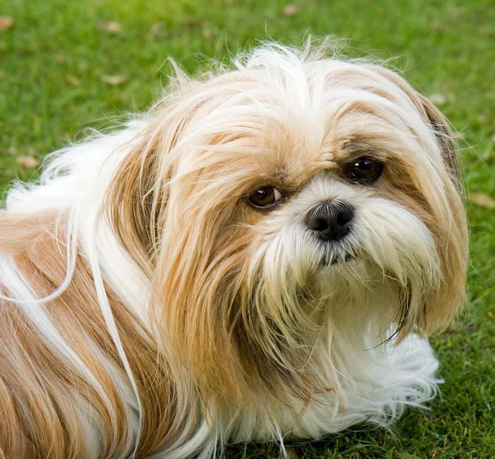 2000+ Shih Tzu Names to Make Awesome Ideas for Your Dog