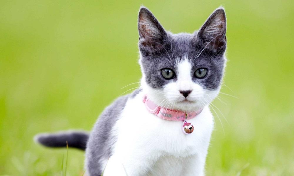 Best Cat Flea Collars