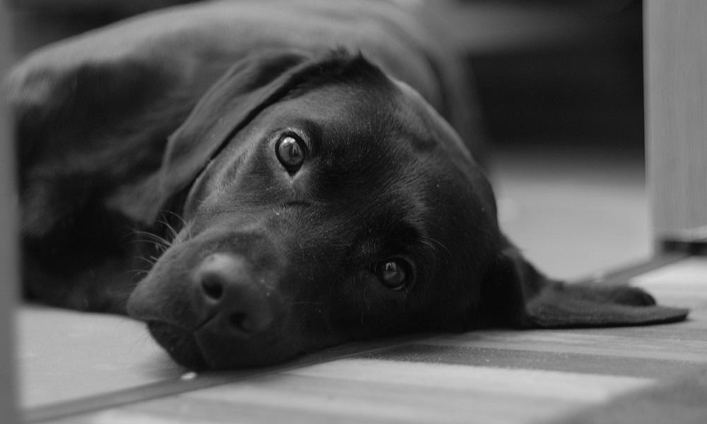 Black Labrador Dog Names