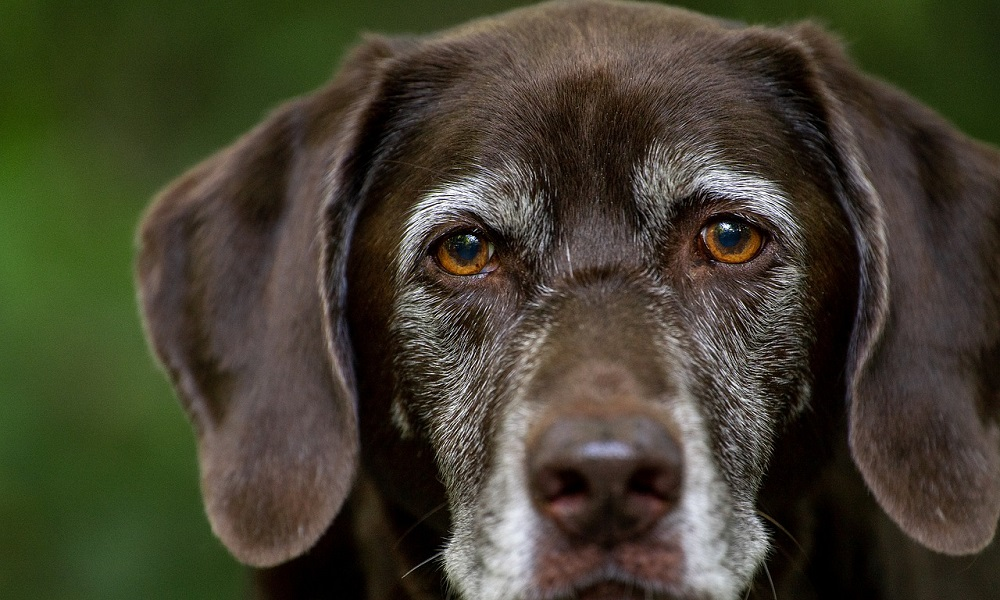 Cute Male Labrador Dog Names