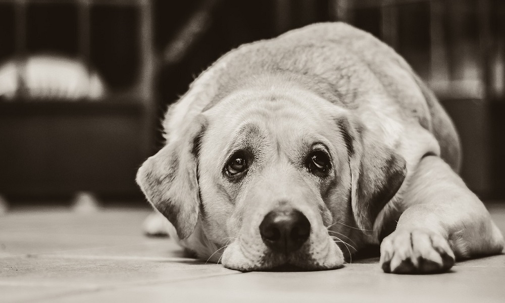 White Labrador Dog Names