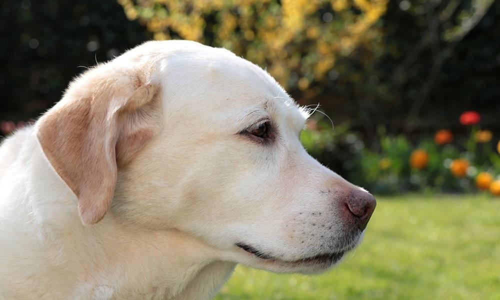 Yellow Labrador Dog Names