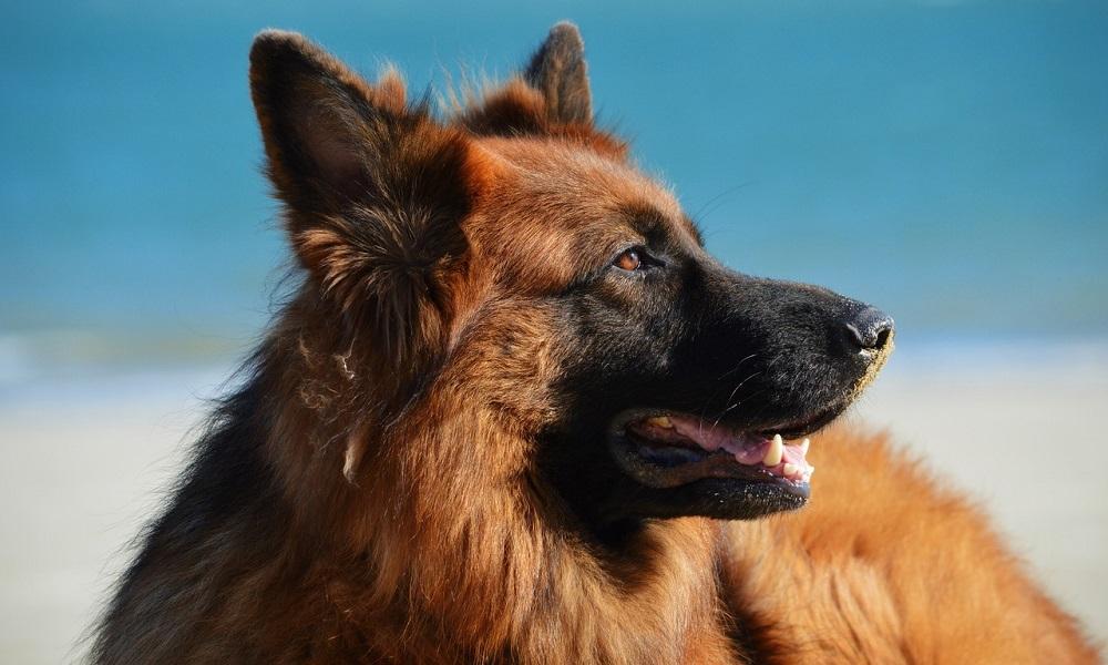 Famous German Shepherd Names