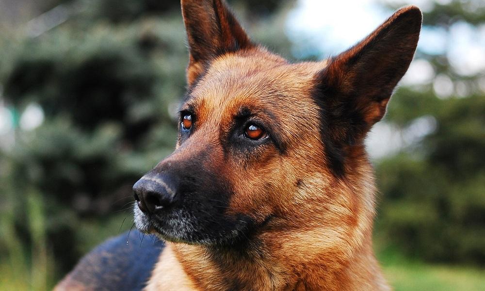 Top German Shepherd Dog Names