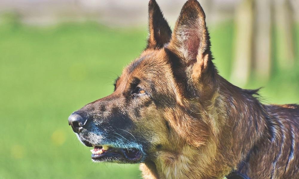 Unique German Shepherd Names