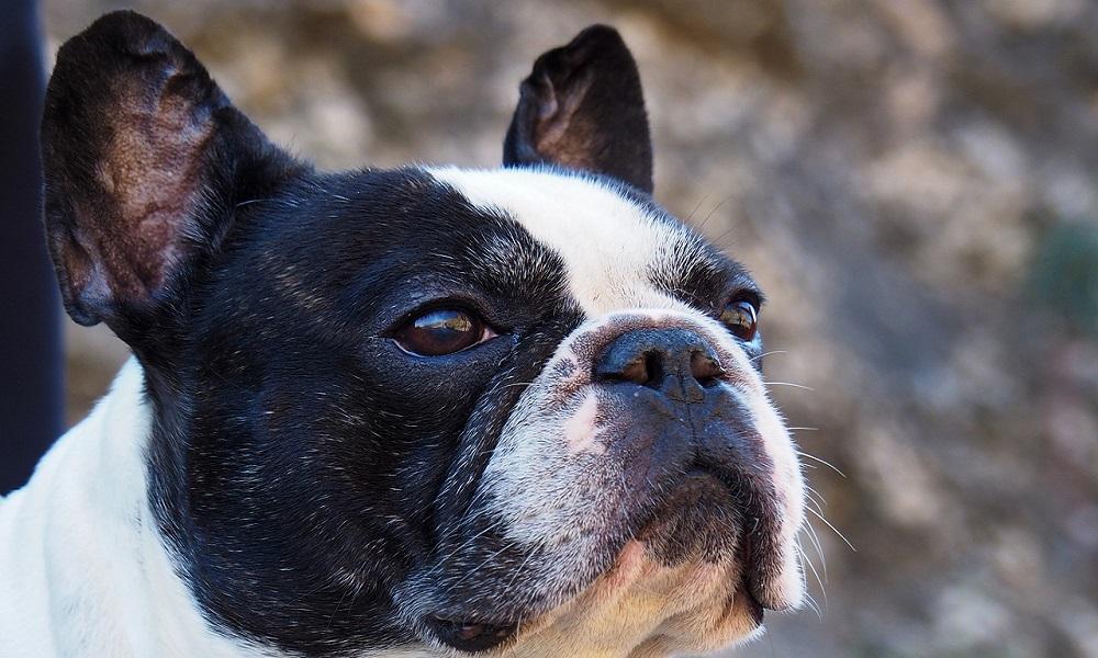 Best French Bulldog Names