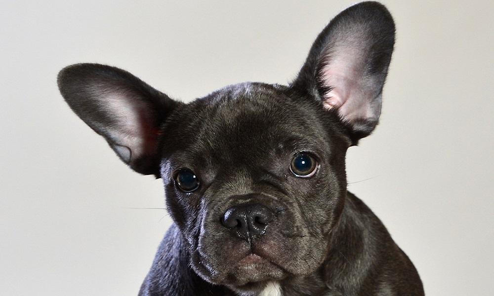 Blue French Bulldog Names