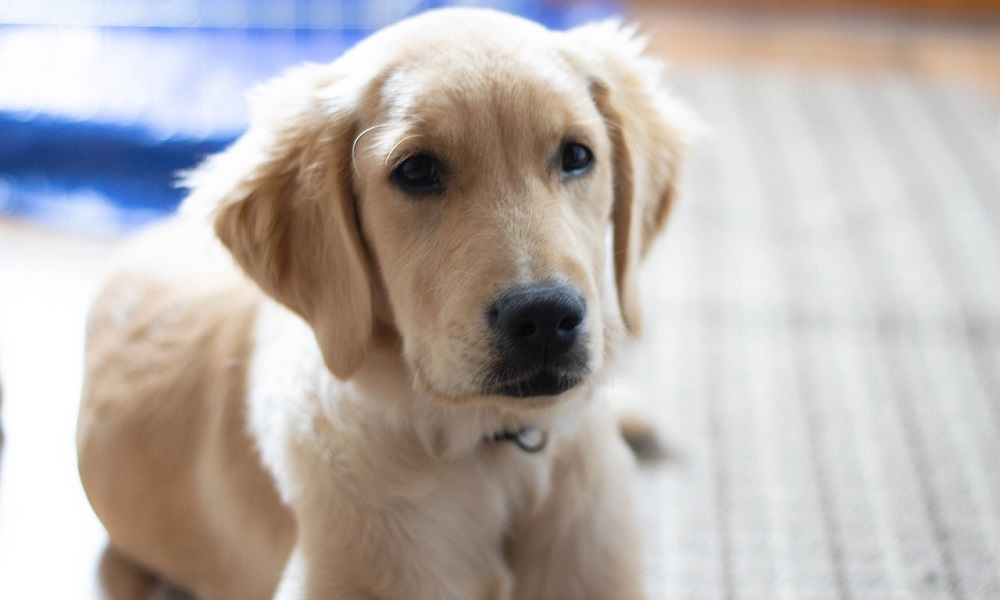 Cute Names for Male Golden Retrievers