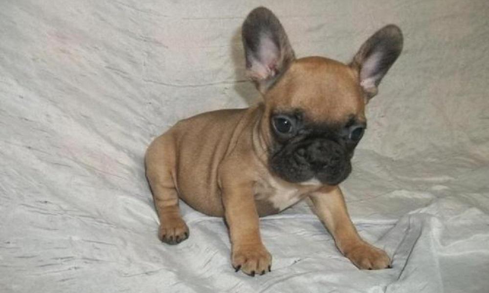 Elegant Male French Bulldog Names