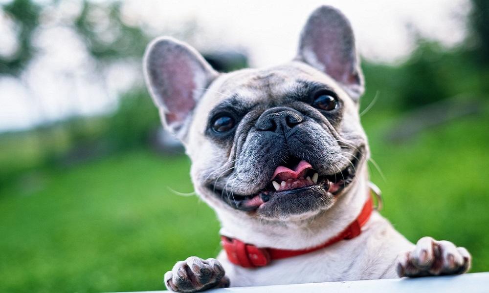 French Bulldog Names