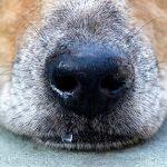 Give Dog Nasal Spray