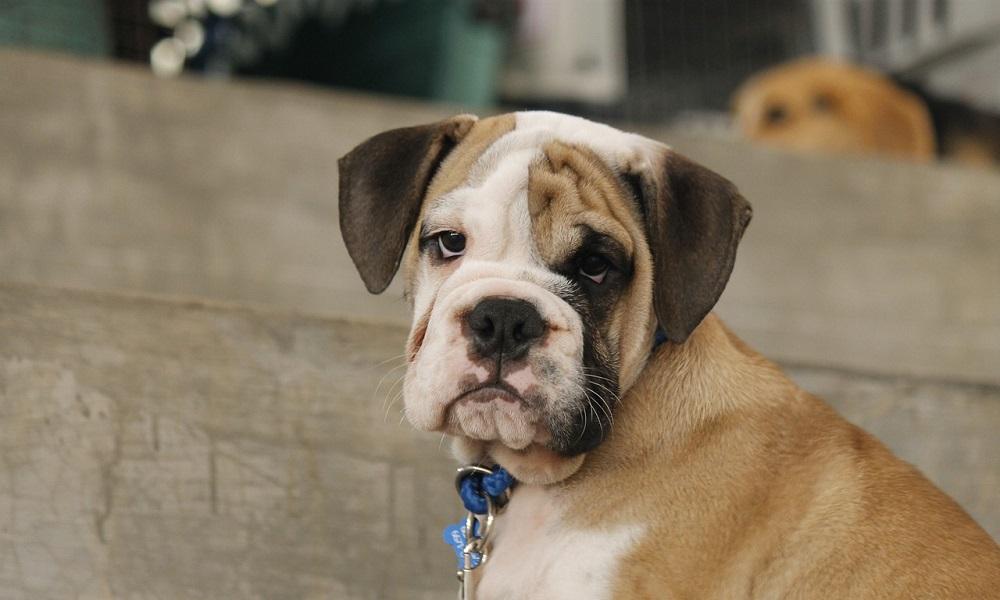 Male French Bulldog Names