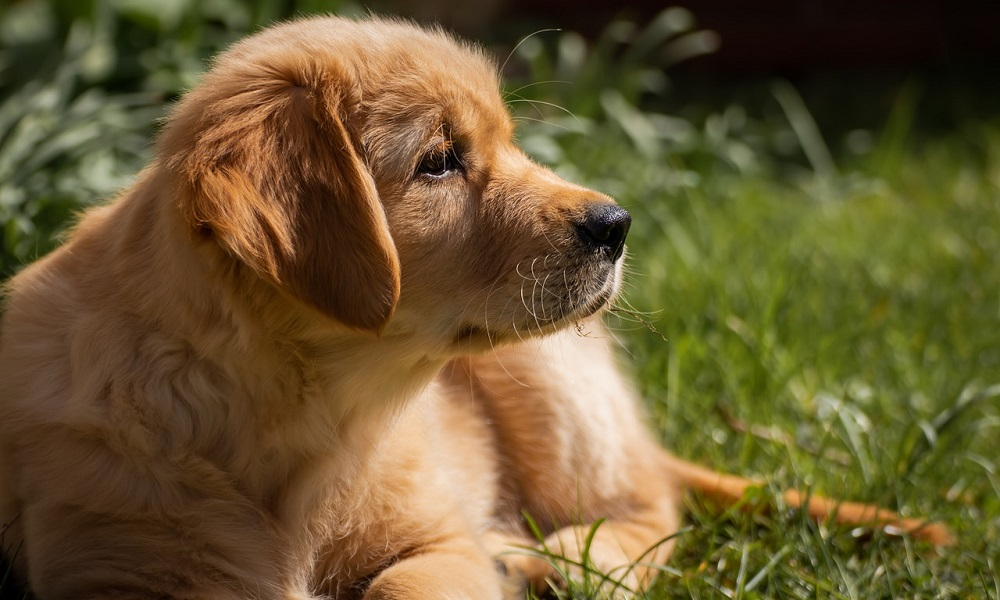 Small Golden Dog Names