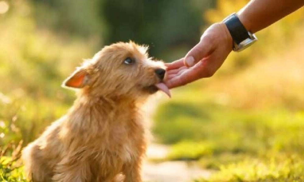 Stop Dog Licking Wound Without Collar