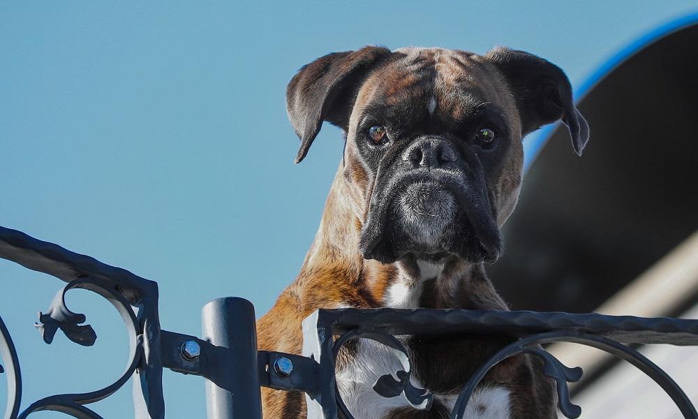 Boy Boxer Dog Names