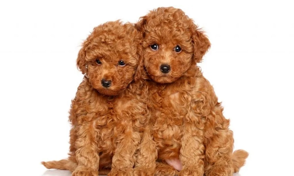 Brown Fluffy Dog Names