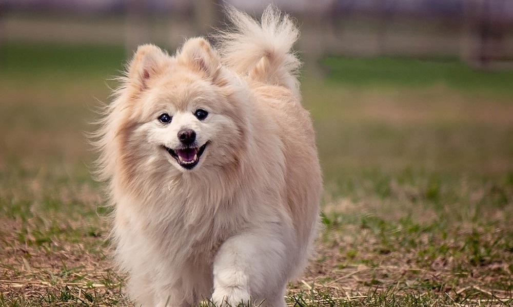 Cute Pomeranian Names