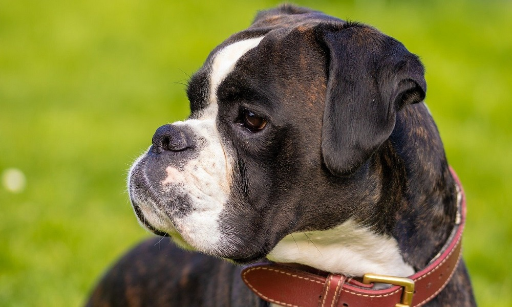 Famous Boxer Dog Names
