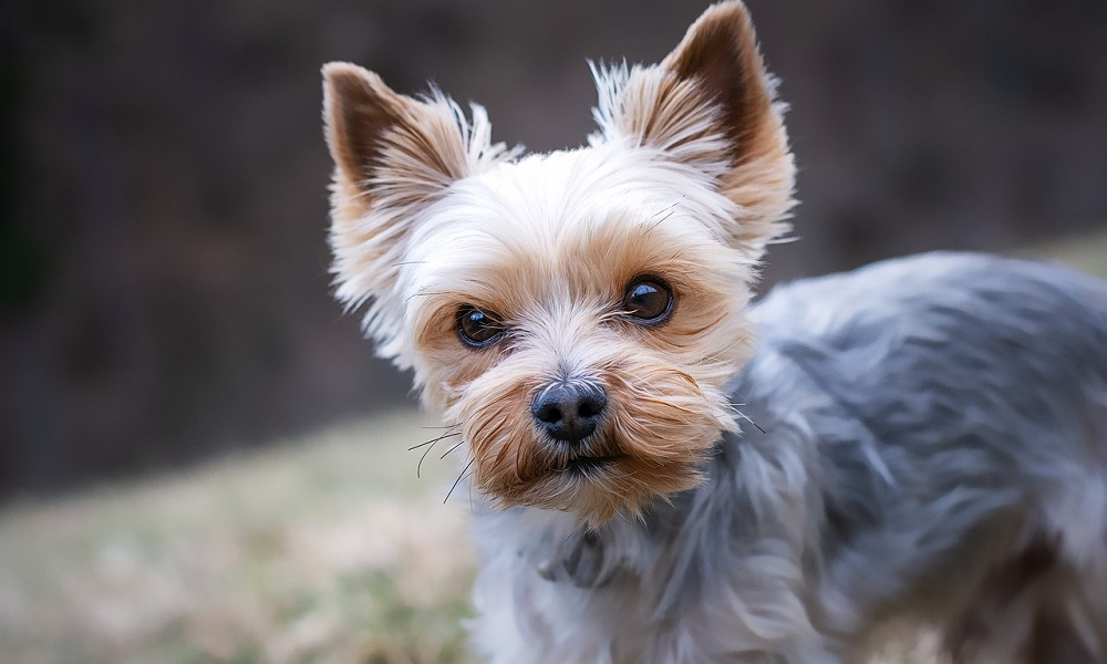 Famous Yorkie Names