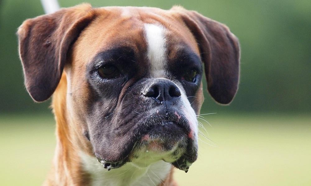 German Boxer Dog Names
