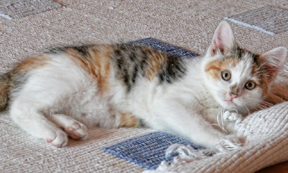Identify Cat Urine in Carpet