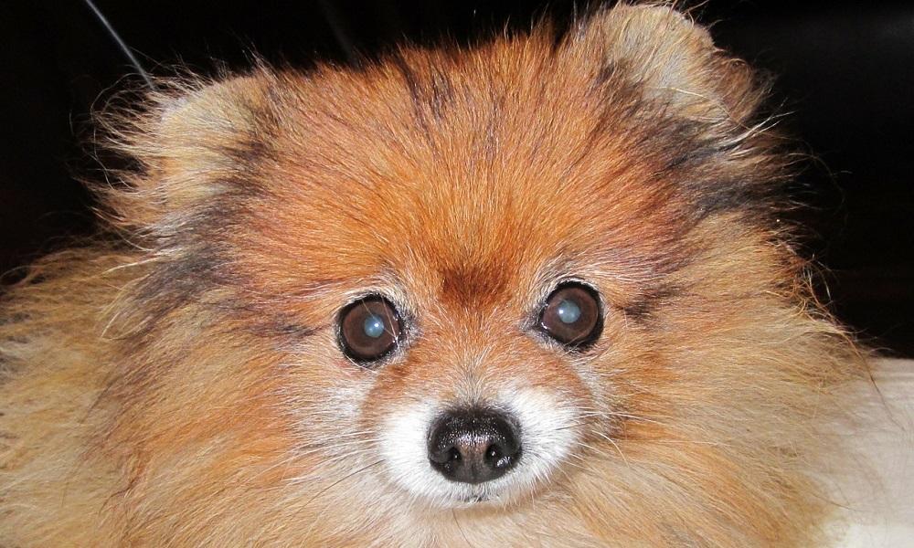Orange Pomeranian Names