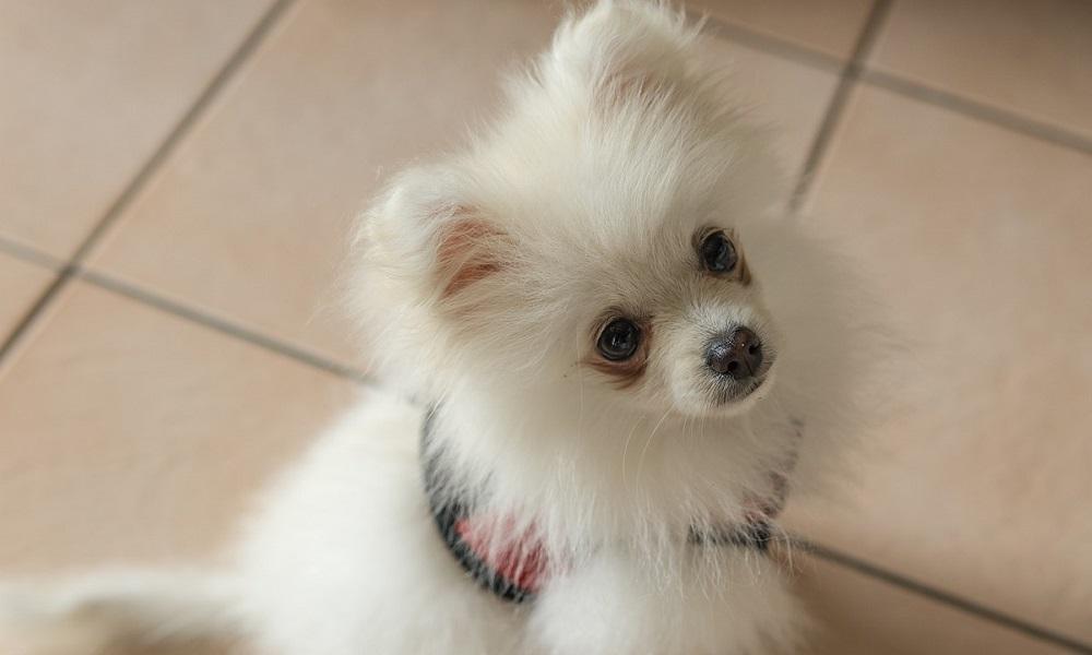 Pomeranian Names Inspired by Fluffy Coat
