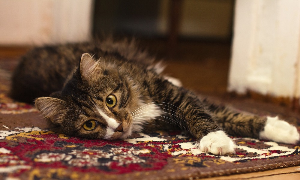 Remove Cat Spray from Carpet