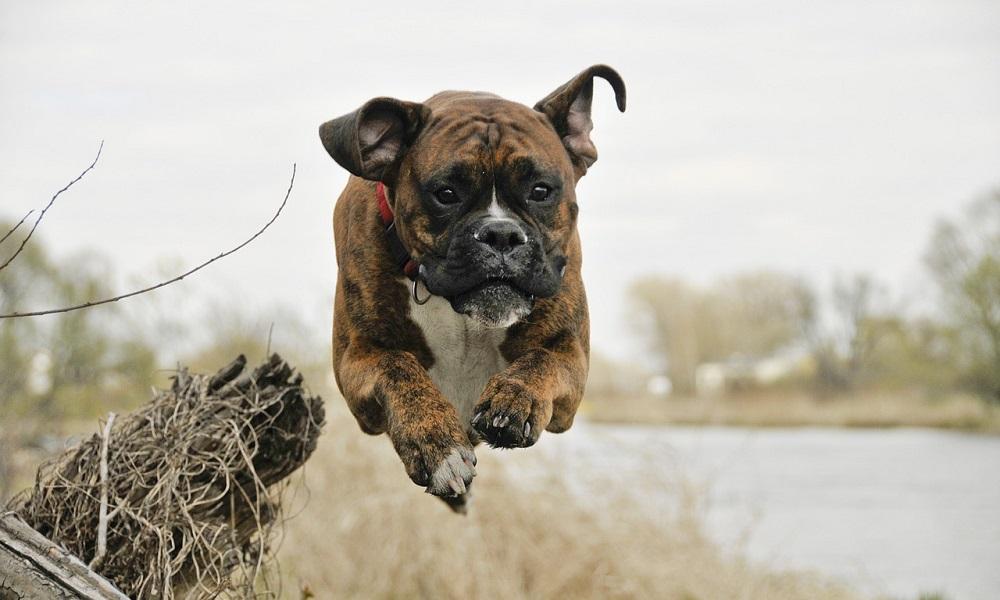 Strong Boxer Dog Names