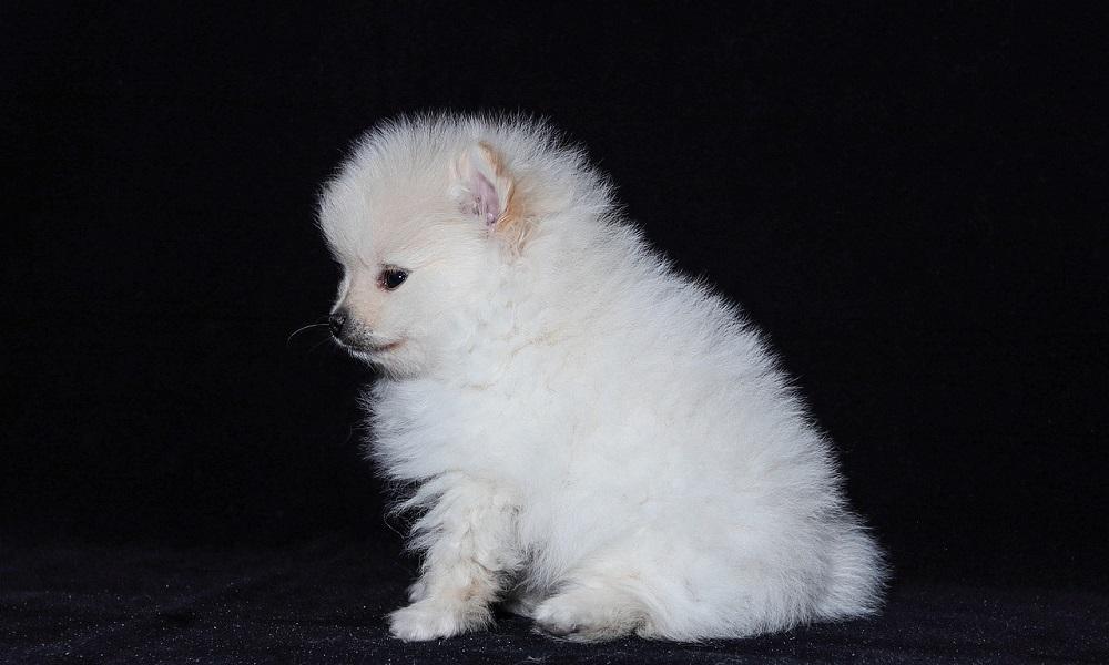 White Pomeranian Names